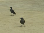light colour headed crows near the India-Nepal border