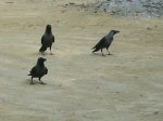 light necked crows inside India border at Myanmar monastery