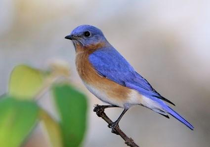 eastern_bluebird_11